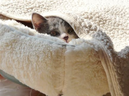 毛布にくるまって、顔だけ出している猫の写真