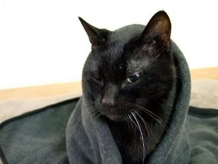 ブランケットにくるまる黒猫の写真