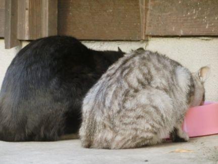 餌を食べる2匹の猫の後ろ姿