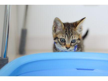 猫トイレを見つめる仔猫の写真