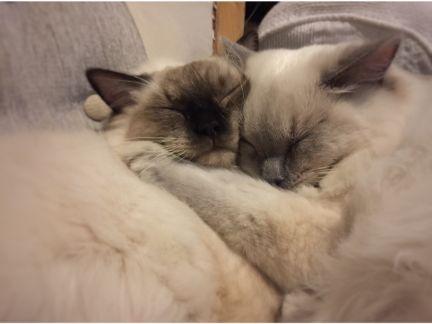 2匹の猫が寄り添って寝る写真