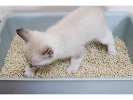 仔猫が猫トイレで猫砂をかいている写真
