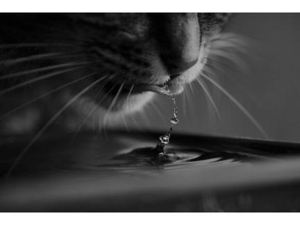 水を飲む猫の写真