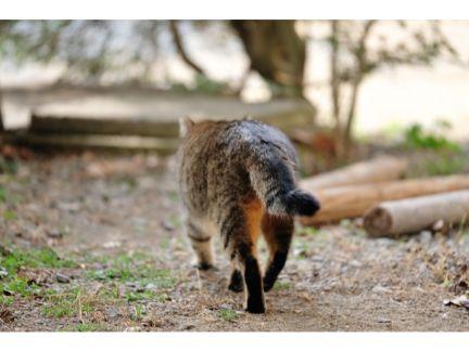 歩く野良猫の後ろ姿の写真