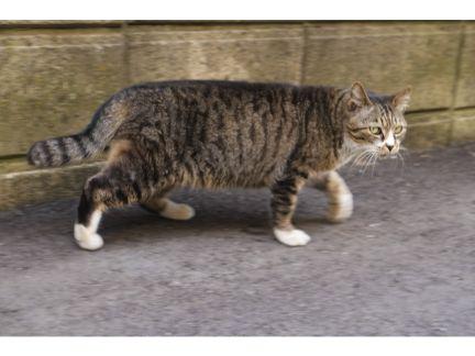 歩きながらこちらを見る野良猫の写真