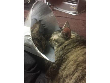 自作エリザベスカラーを付けた猫の写真