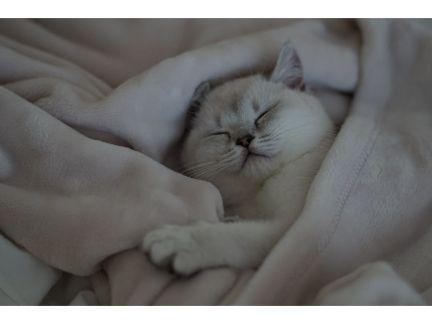 布団にくるまって寝る仔猫の写真