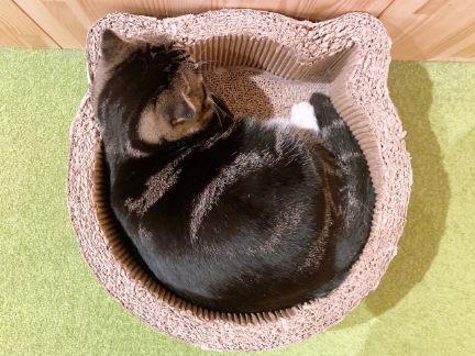 爪とぎ機の中で寝る猫の写真