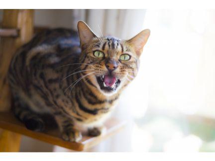 鳴いている猫の写真